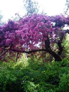 Manito Pink Tree 5-13-12