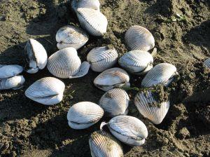 Nan clam shells
