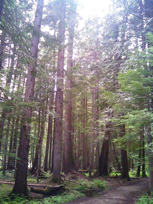 ross creek cedars 12-6-14-12