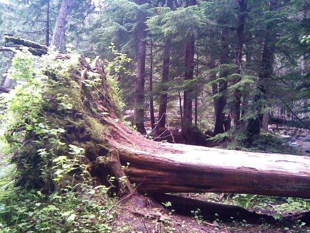 ross creek cedars 2 6-14-12