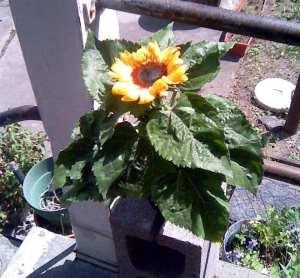 sunflower tj1  7-8-12