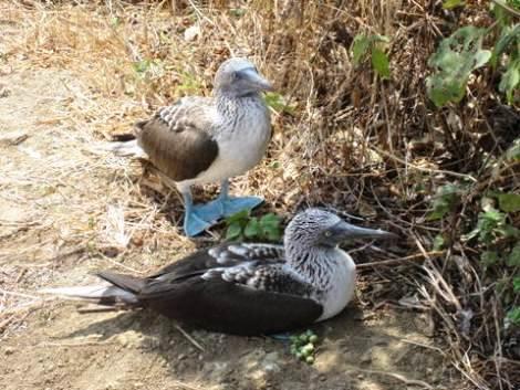 meri blue-footed-boobie-couple