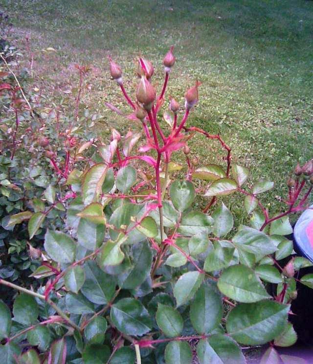 rosebuds 6-9-12