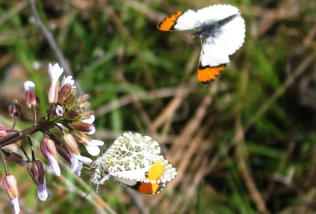 2 butterflies and flower