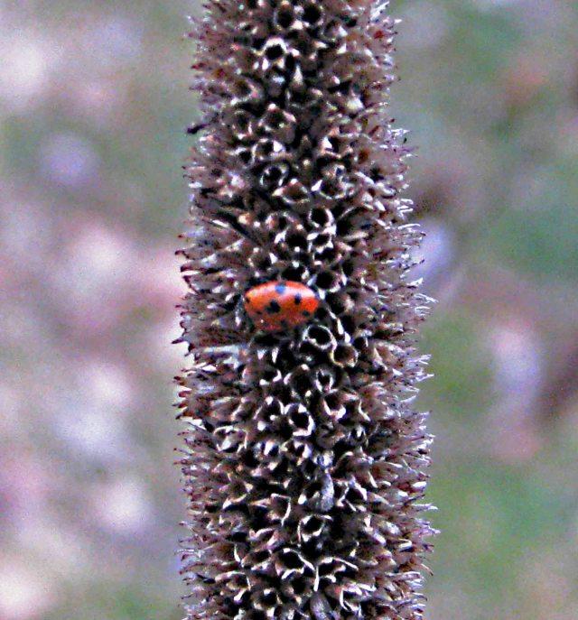 -Ladybug!