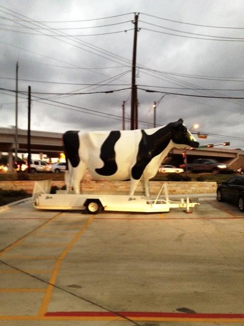 steve cow B& W