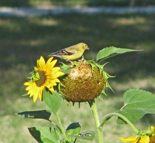LadyFinch@sunflower