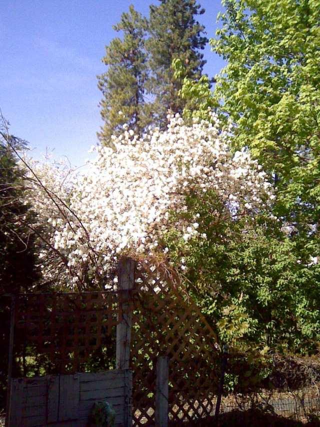apple tree 5-12-12
