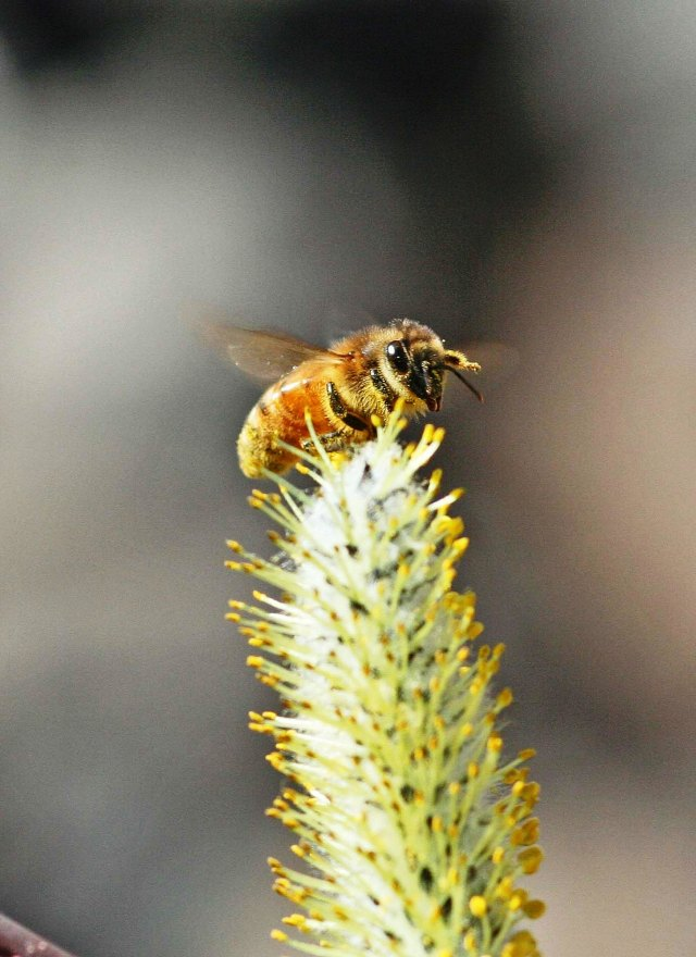 bee-on-willow