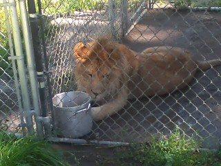 lion cat tales