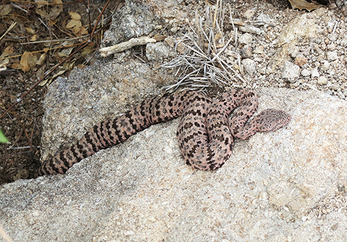 martha snake