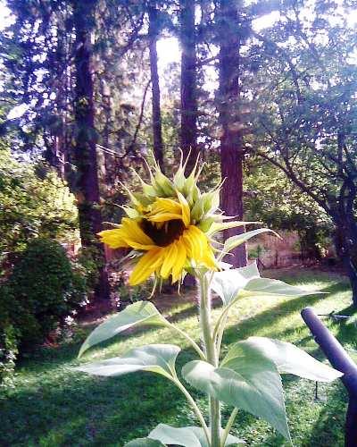 Sunflower 9-27-10