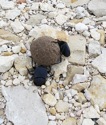 martha dung-beetles
