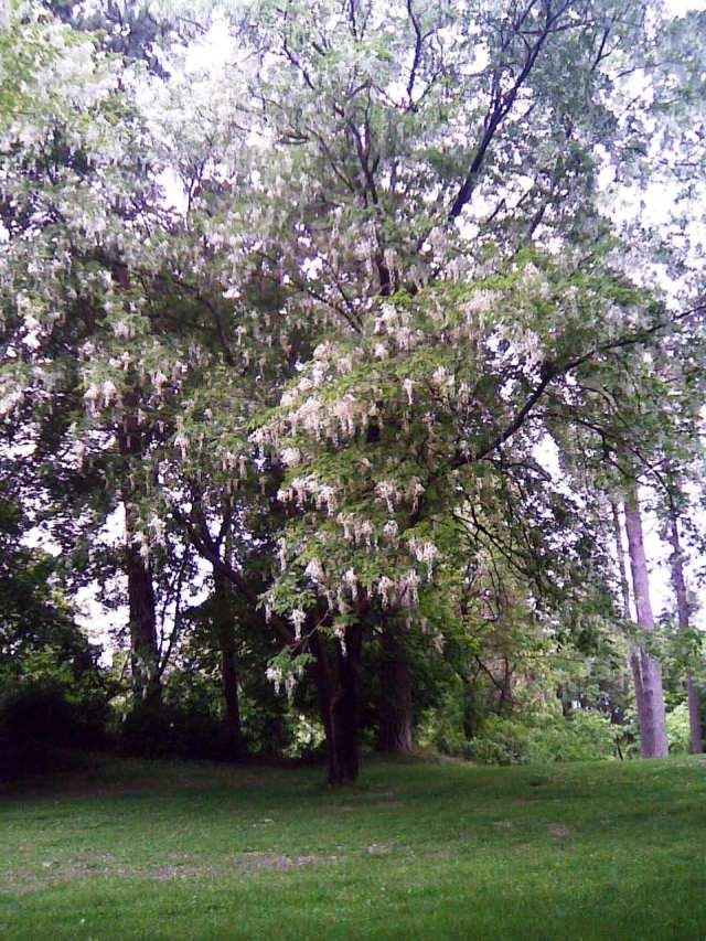 manito tree 6-18-12