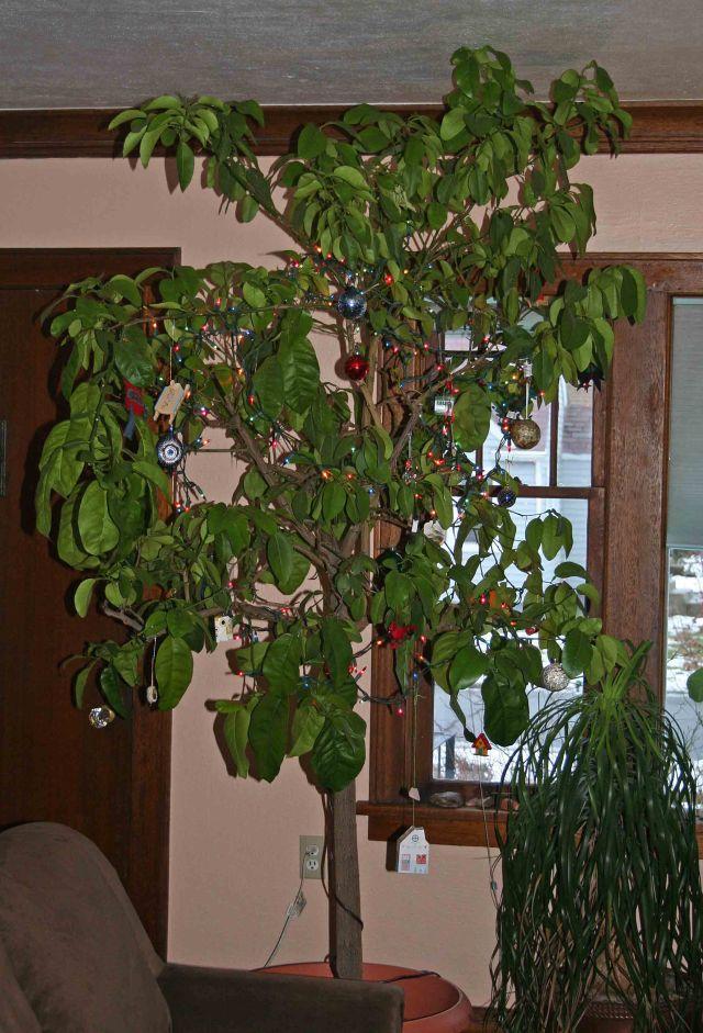 john grapefruit tree