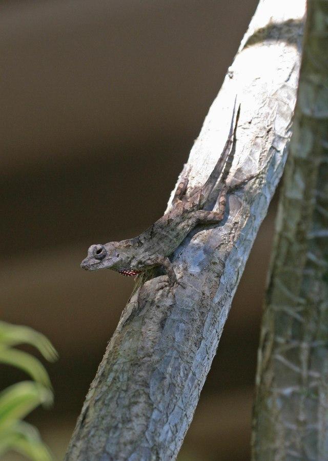 john lizard on tree u