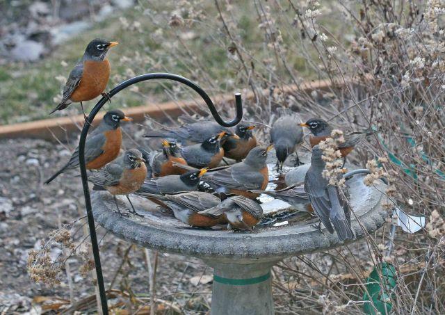 john robins in birdbath u