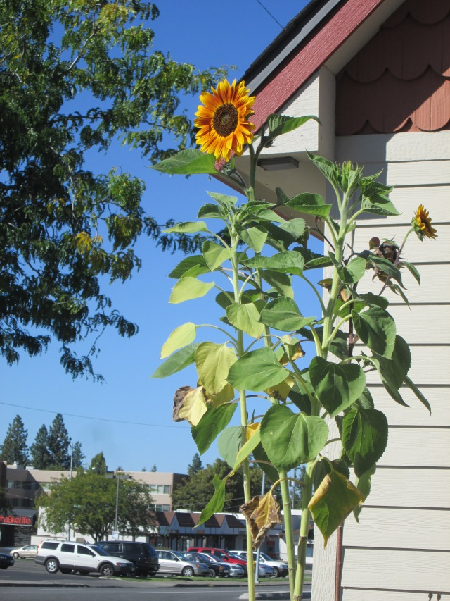 sunflower grand latte U
