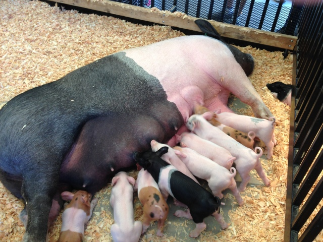 Nan pigs U