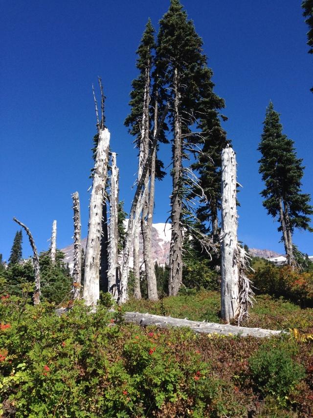Nan tree MT Rainier u