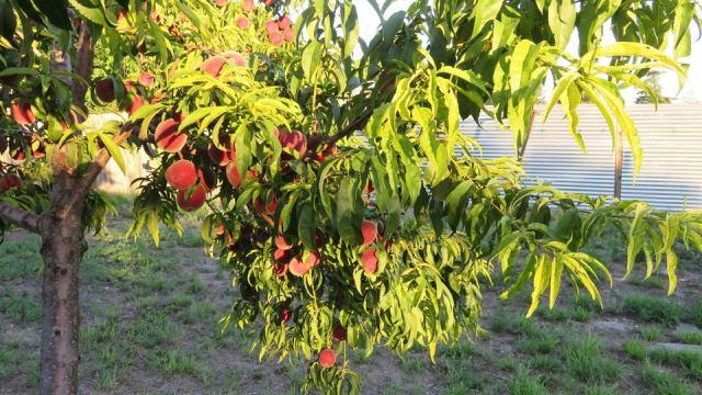 Martha peach tree u