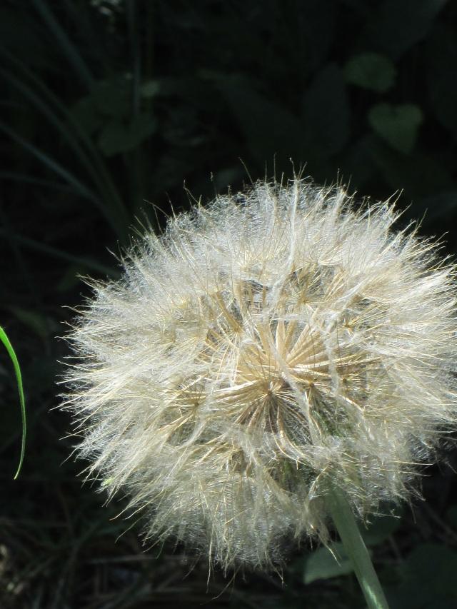 milkweed u