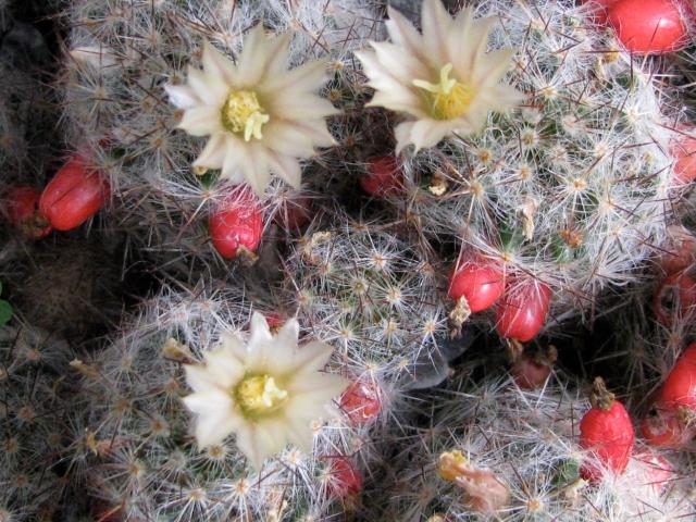 john cactus U