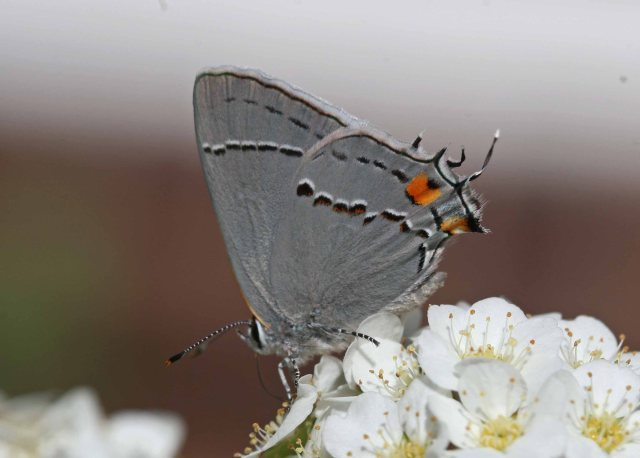 john gray butterfly u