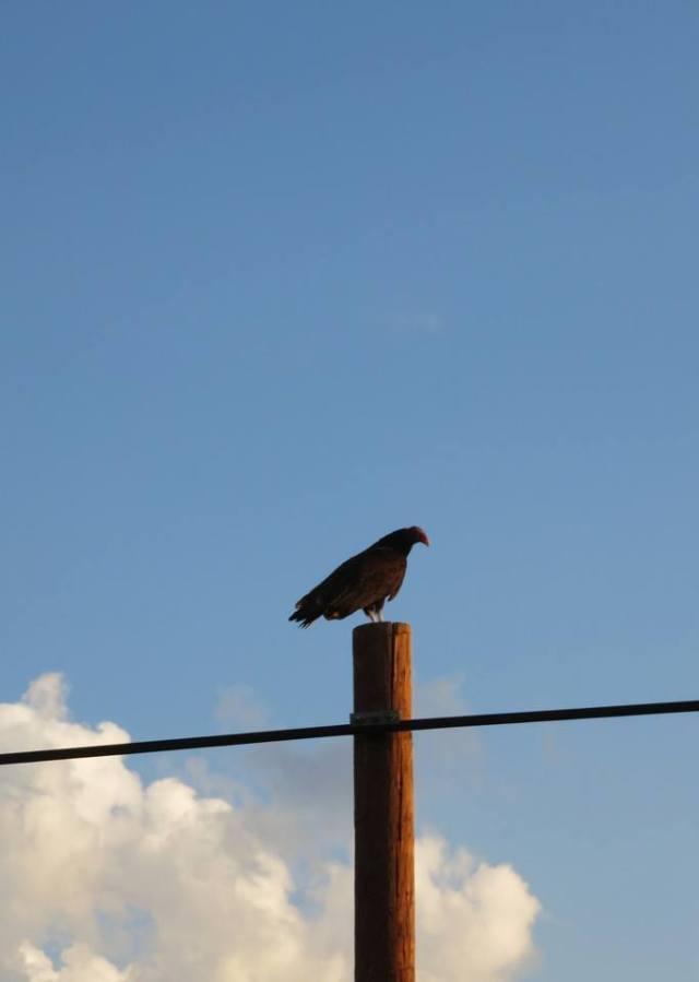martha turkey vulture u