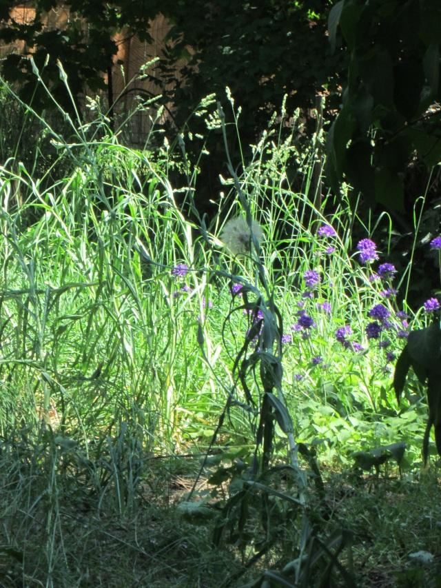 Backyard weeds 6-13-15 u
