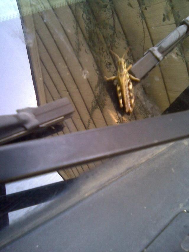 grasshopper on car u