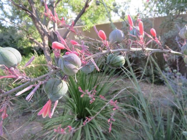 martha red yucca u