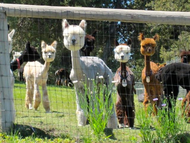 meri alpacas-in-ca