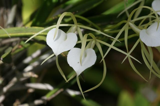 john white heart flowers U