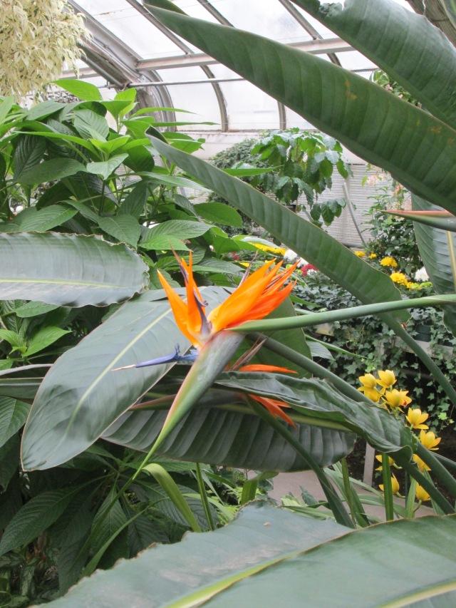 Manito conservatory bird of paradise 1-17-15 U