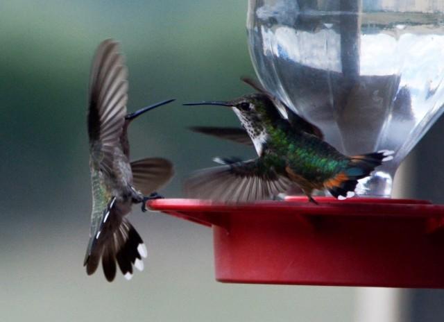 avant-2-humming-birds