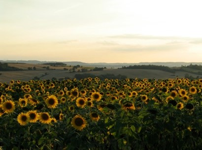 dianne-sunflowers-france-marty