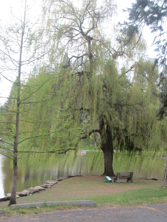 willow-tree-4-25-15-2015_04_26-17_50_07-utc